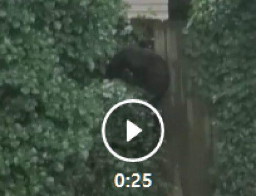 둘루스 한인주택에 곰 출현